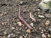 Earthworms Стоковая Фотография