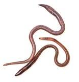 2 earthworms Стоковое Изображение RF