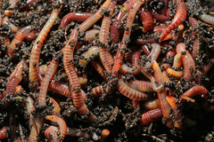 earthworms Stock Foto