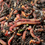 earthworms Fotografia Stock