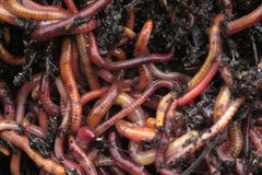 Earthworms in composta immagini stock