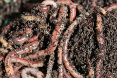 Earthworms Stock Images