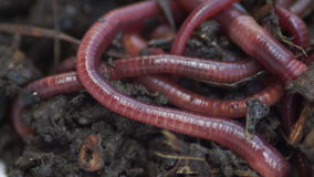 Earthworms.Earthworms show clustered.Bait for fish