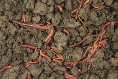 Earthworms in the land  background Royalty Free Stock Photo