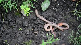 The earthworms lie on ground stock footage
