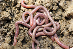 Earthworms in mold Royalty Free Stock Images