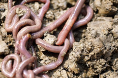 Earthworms in mold Stock Photography