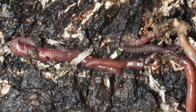 Earthworms in mould. Macro photo Stock Photos