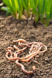 Earthworms on patch Stock Photography