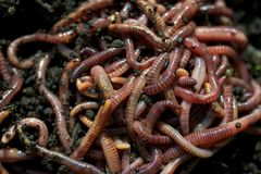 Earthworms in the soil Stock Images