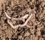 Earthworms on soil. macro Stock Photos