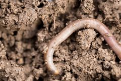 Earthworms on soil. macro Royalty Free Stock Image