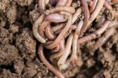 Earthworms on soil. macro Royalty Free Stock Photography