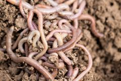 Earthworms on soil. macro Stock Images