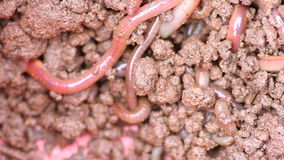 Earthworms  Royalty Free Stock Photography