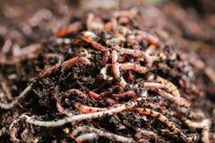 Earthworms Royalty Free Stock Photos