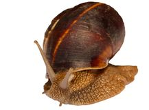 Earthy brown snail in the shell photographed close.  Stock Images