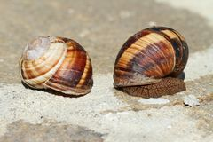 Earthy brown snail in the shell. Photographed close. Snail horns Royalty Free Stock Photos