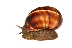Earthy brown snail in the shell. Photographed close. Snail horns Royalty Free Stock Photography