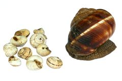 Earthy brown snail in the shell. Photographed close. Snail horns Stock Image