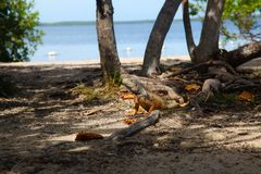 Iguana taking shade also looking for food, Florida Keys, USA. An earthy colored iguana cools off in the shade at a beach in key west, FL, USA royalty free stock photo