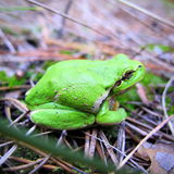 Earthy green frog Stock Image