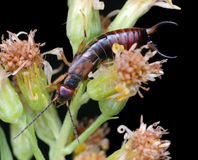 Earwig Royalty Free Stock Photo