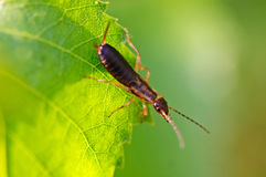 Earwig stock photography