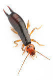 Earwig Stock Photos