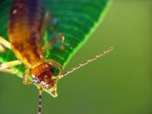 Earwig (Auricularia del Forficula) Immagine Stock Libera da Diritti