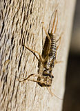 Earwig empty exuvia Royalty Free Stock Photos