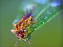 Earwig (Forficula auricularia). Is sitting on the green leaf with drops of water Royalty Free Stock Image