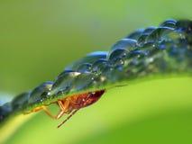Earwig (Forficula Auricularia). The Earwig is hiding from rain under leaf stock image