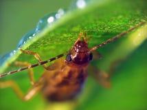 Earwig (Forficula Auricularia). The Earwig is hiding from rain under the leaf stock photo