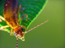 Earwig (Forficula Auricularia). The Earwig is sitting on the leaf royalty free stock image