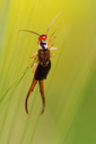 Earwig on green baskground Stock Photography