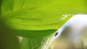 Earwig on leaf. Insect perches on a large tropical leaf stock video footage