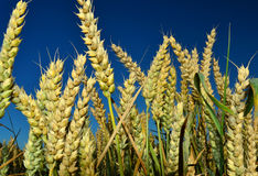 Eas of wheat Royalty Free Stock Images