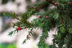 The yew Taxus is an evergreen shrub or tree. Easily identifiable by its unique red berries associated with the Christmas holiday season royalty free stock photos