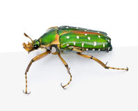 East Africa flower beetle against white background royalty free stock image