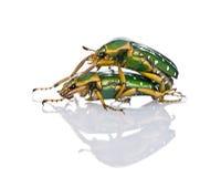 East Africa flower beetles having sex. Stephanorrhina guttata, in front of white background, studio shot Stock Images