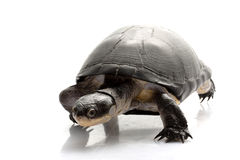 East African Black Mud Turtle Royalty Free Stock Image