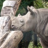 East African black rhino in profile. Photographed at Port Lympne Safari Park near Ashford Kent UK. stock photography