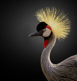 East African Crane Royalty Free Stock Photography