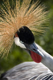 East African Crested Crane Stock Images