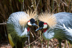 East African Crowned Crane Royalty Free Stock Photos