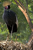 East african crowned crane Stock Photo