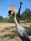 East African Crowned Crane Stock Images