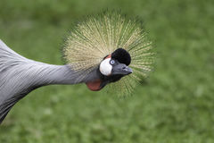 East African Crowned Crane - also know as Grey Crowned Crane - s. East African Crowned Crane (Balearica regulorum) - also know as Grey Crowned Crane - stretching Royalty Free Stock Images