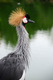 East African Crowned Crane (Balaerica regulorum) Royalty Free Stock Photography